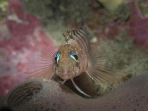 Blue-eyed triplefin fish