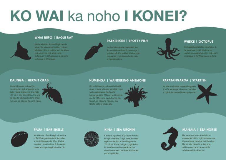 Seaweed critter info sign (Te Reo)